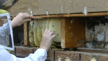 Extraction of the honeybee colony/cut-out