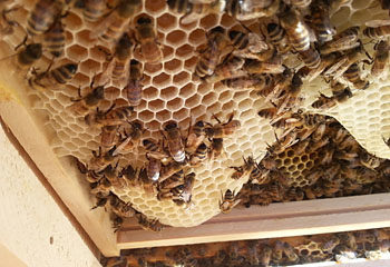 Closeup of a new comb in a Langstroth beehive
