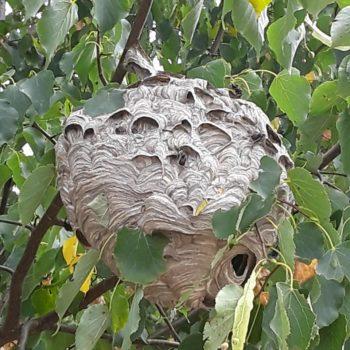 Hornet nest