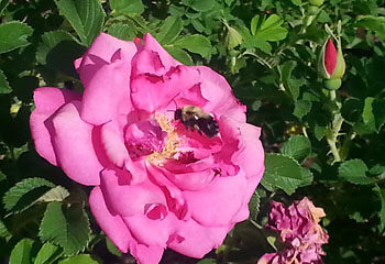 Native bee on the rose
